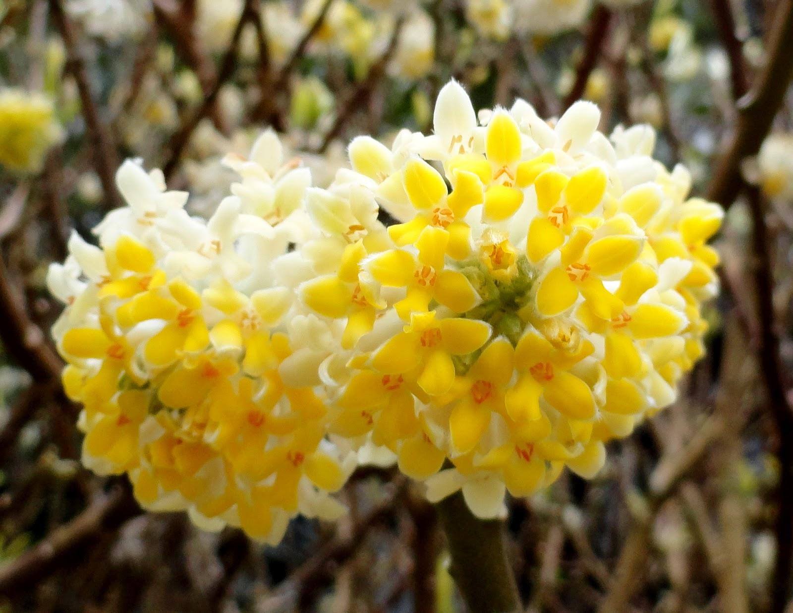 edgew fiore