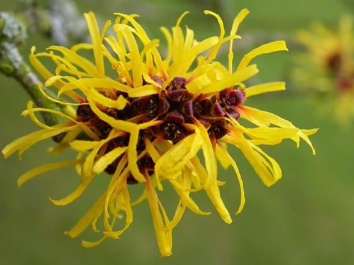 hamamelis fiore giallo