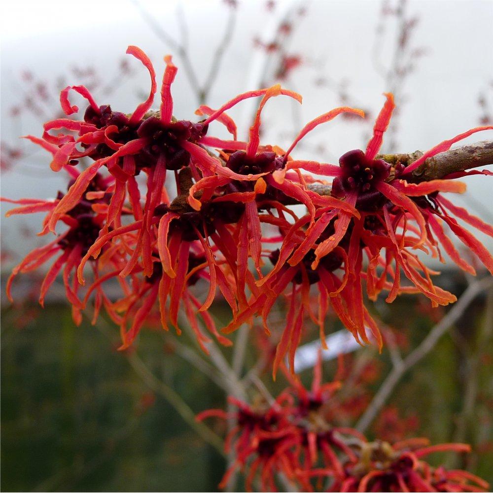 hamamelis fiore rosso