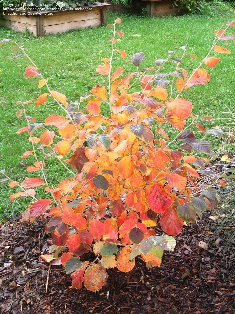 hamamelis foglie