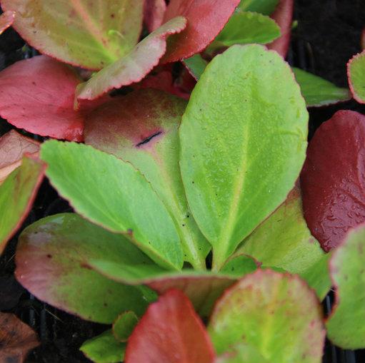 bergeenia foglie