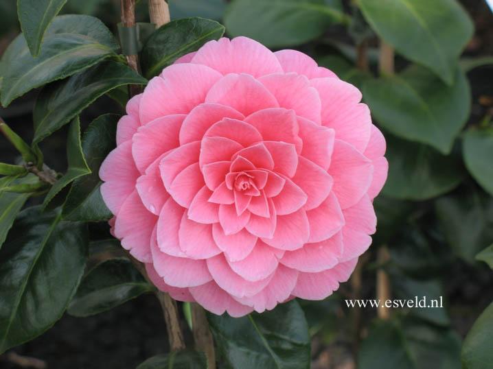 Camelia camellia sinensis e camellia japonica for Pianta camelia