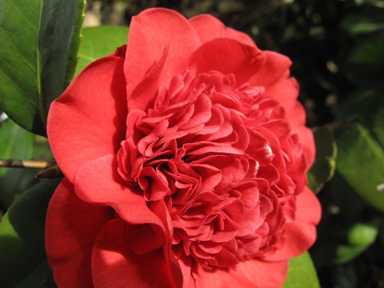 camelia fiore 5