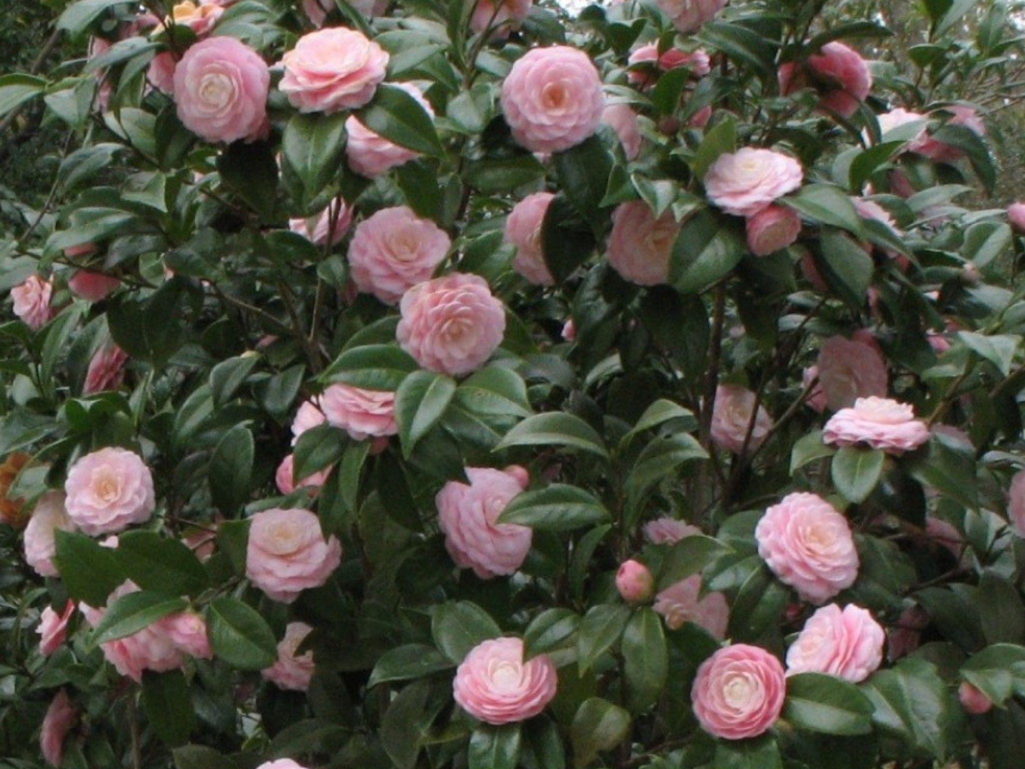 camelia camellia sinensis e camellia japonica floricoltura varanese. Black Bedroom Furniture Sets. Home Design Ideas