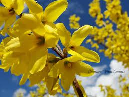 forsythia fiore