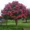 lagerstroemia-indica-tuscaroa-fulltree