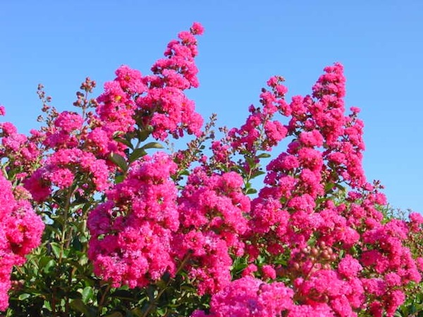 lagerstroemia_redclose