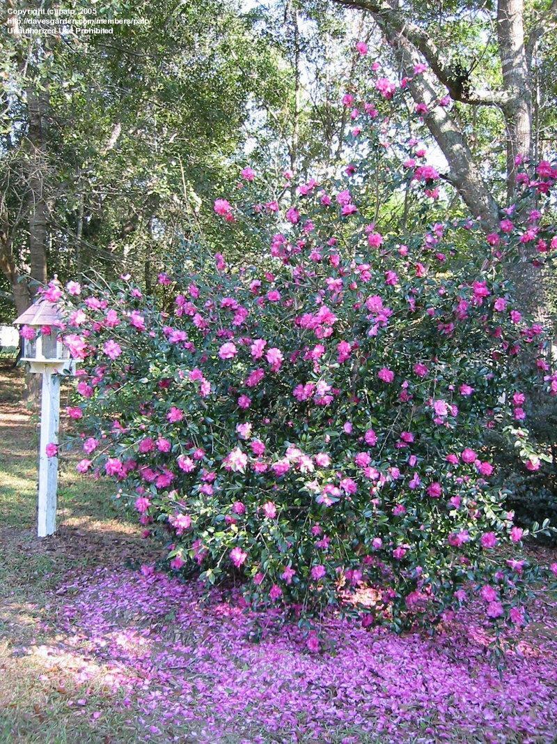 Camelia camellia sasanqua floricoltura varanese for Camellia sasanqua