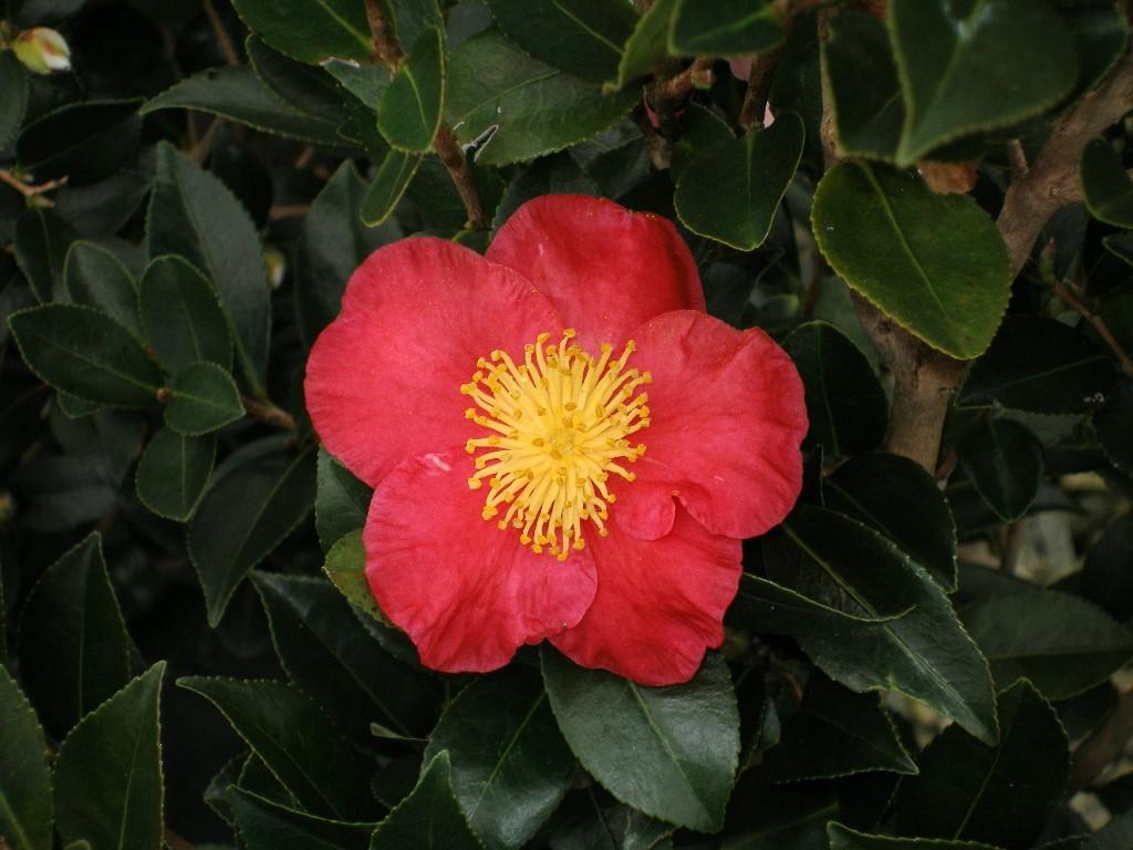 Camelia camellia sasanqua floricoltura varanese for Camelia rossa
