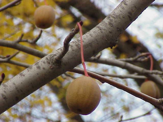 davidia frutto