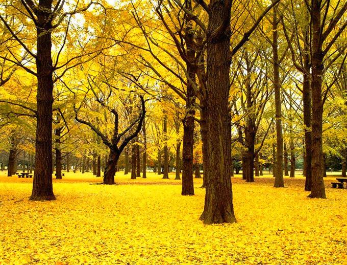 ginkgo foglie a terra