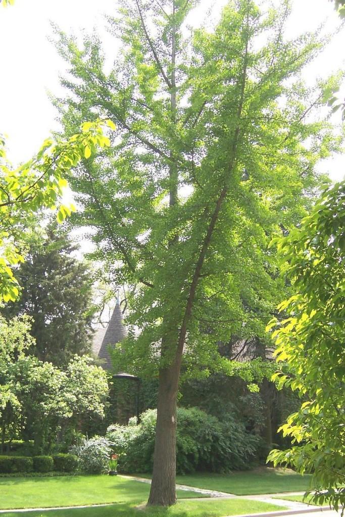 ginkgo pianta verde