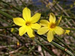 Fiori Gialli Nomi.Gelsomino D Inverno Jasminum Nudiflorum Floricoltura Varanese