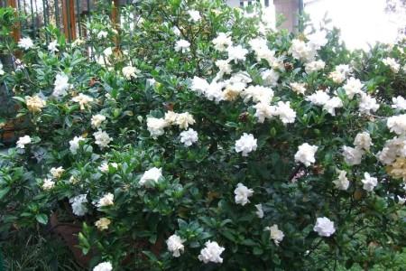 Gardenia gardenia jasminoides floricoltura varanese - Gardenia pianta da giardino ...