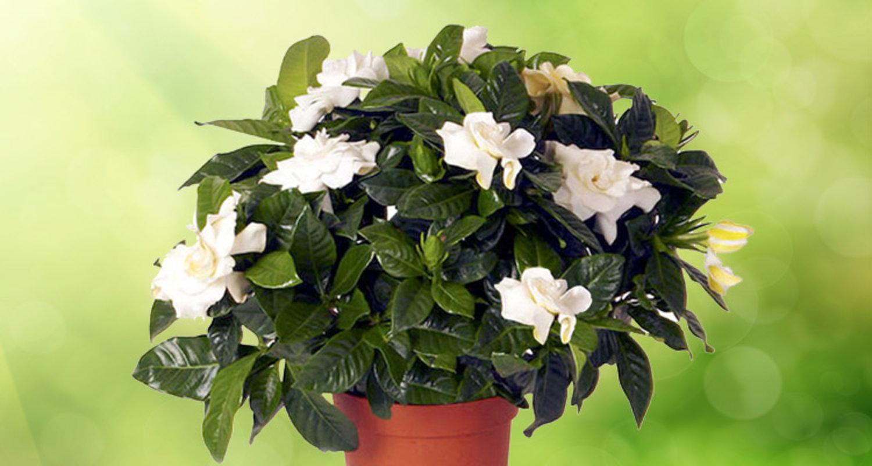 Гардения в домашних условиях - Комнатные растения и цветы