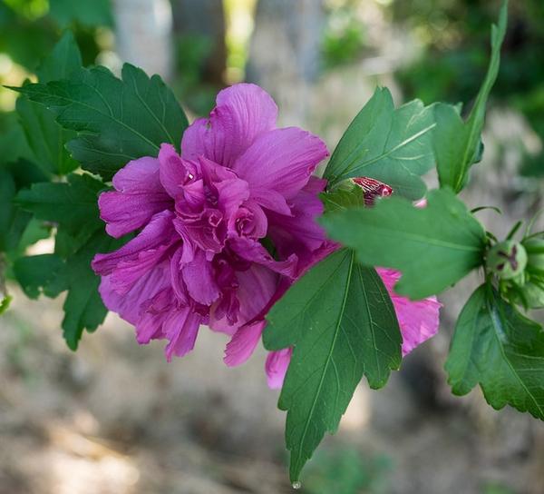 Hibiscus-syriacus--F-Doppio