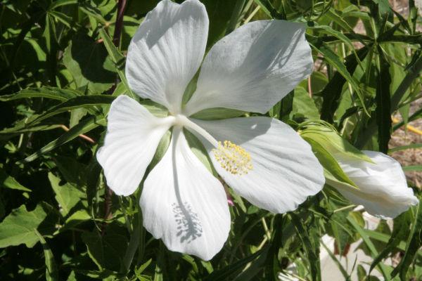 hibiscus_coccineus_bianco