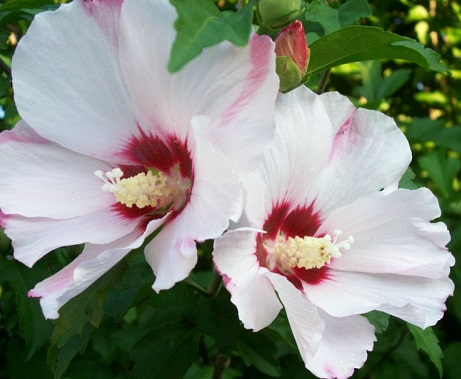 hibiscus bianco e viola