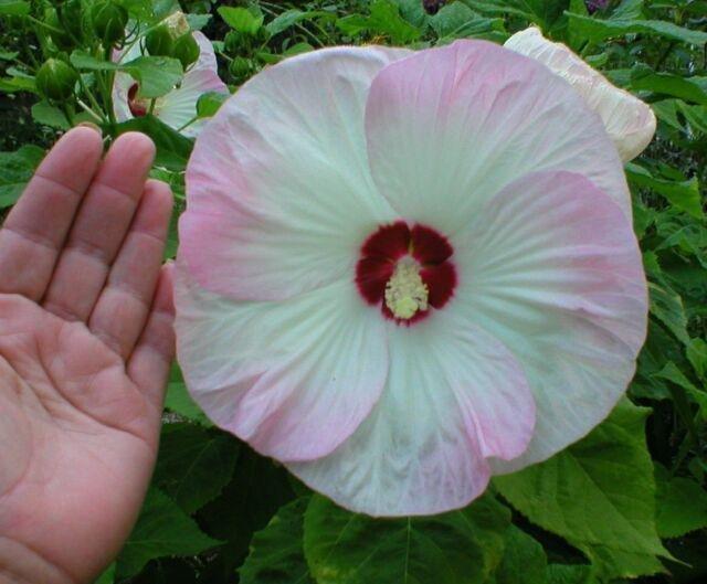 hibiscus_palustris_mano