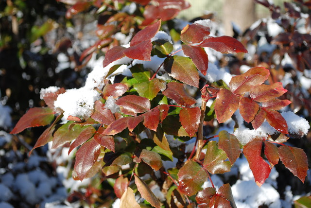 mhaonia-inverno