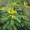 mhaonia-pianta